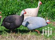 Guinea Fowls | Birds for sale in Central Region, Kampala