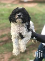 Maltese Puppies   Dogs & Puppies for sale in Central Region, Kampala