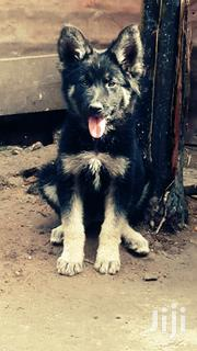 Pedigree Shepherd Puppies | Dogs & Puppies for sale in Central Region, Kampala