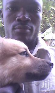 Germany Shepherd | Dogs & Puppies for sale in Central Region, Kampala