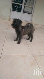 Male And Female Yorkshier Terrier | Dogs & Puppies for sale in Central Region, Kampala