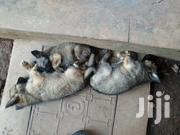 German Sheperd | Dogs & Puppies for sale in Central Region, Kampala