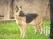 German Shepherd Female One Yr Old | Dogs & Puppies for sale in Central Region, Kampala