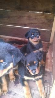 Rottweiler Puppies for Sale.   Dogs & Puppies for sale in Central Region, Kampala