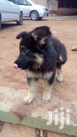 German Shepherds | Dogs & Puppies for sale in Kampala, Central Region, Nigeria