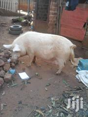 Livestock For Sale | Livestock & Poultry for sale in Central Region, Kampala