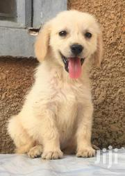 Golden Retriever Puppies | Dogs & Puppies for sale in Central Region, Kampala