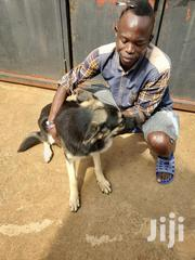 German Shepherd Dog | Dogs & Puppies for sale in Central Region, Kampala