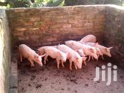 Piglets For Sale | Other Animals for sale in Central Region, Kampala