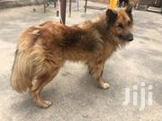 Doulble Cort Brown German Sherperd | Dogs & Puppies for sale in Central Region, Kampala