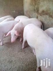 Piglets On Sale | Other Animals for sale in Central Region, Kampala