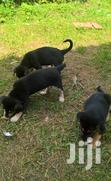 Puppies for Sale. | Dogs & Puppies for sale in Kampala, Central Region, Nigeria