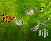 Fancy Guppies | Fish for sale in Central Region, Kampala