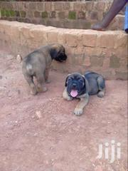 Pure Boerboel (Pups) | Dogs & Puppies for sale in Central Region, Kampala