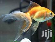 Fresh Water Aquarium Fish | Fish for sale in Central Region, Kampala