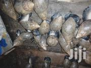 Snails For Sale | Livestock & Poultry for sale in Central Region, Kampala