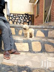 Maltese Puppy For Sale | Dogs & Puppies for sale in Central Region, Kampala