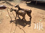 Milking Goats | Livestock & Poultry for sale in Central Region, Kampala