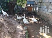 2 Pairs Of Geese | Birds for sale in Central Region, Kampala