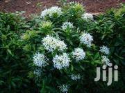 Ixora Flowers | Garden for sale in Central Region, Kampala