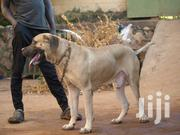 Male Boerboel   Dogs & Puppies for sale in Central Region, Kampala