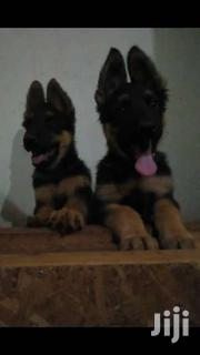 German Shephereds Pups Available | Dogs & Puppies for sale in Central Region, Kampala