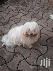 Pure White Small Heavy Coat Maltese Puppies | Dogs & Puppies for sale in Central Region, Kampala