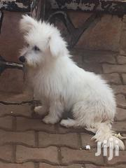 Pure Maltese Puppies | Dogs & Puppies for sale in Central Region, Kampala