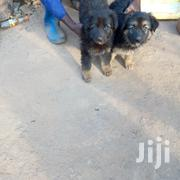 Pure German Shepherd Puppies | Dogs & Puppies for sale in Central Region, Kampala