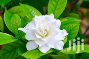 Gardenia Flowers | Garden for sale in Central Region, Kampala