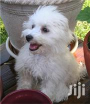 Maltese Puppy (Pure White and Partial Trained) | Dogs & Puppies for sale in Central Region, Kampala