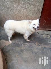 Samoyed Pure | Dogs & Puppies for sale in Central Region, Kampala