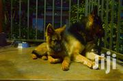 Active Dog Trainers (U) | Dogs & Puppies for sale in Central Region, Kampala