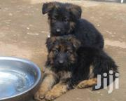 Pure German | Dogs & Puppies for sale in Central Region, Kampala