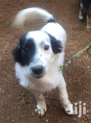 Nice House Dogs | Dogs & Puppies for sale in Central Region, Kampala