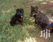 Pure German Shepherd | Dogs & Puppies for sale in Central Region, Kampala
