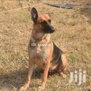 Female Shortcoat German Shepherd for Sale | Dogs & Puppies for sale in Central Region, Kampala