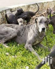 Pure Great Dane Pups Available Now | Dogs & Puppies for sale in Central Region, Kampala
