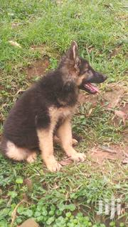 Three Months Male Germany Shepherd Puppy | Dogs & Puppies for sale in Central Region, Kampala