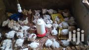 Broiler Chicks | Livestock & Poultry for sale in Central Region, Kampala