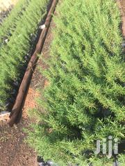 Rosemary Seedlings | Feeds, Supplements & Seeds for sale in Central Region, Kampala