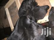 Solid Black Pedigree | Dogs & Puppies for sale in Central Region, Kampala