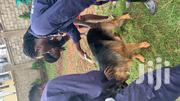 German Shepherd Pedigree Pure Breed | Dogs & Puppies for sale in Central Region, Kampala