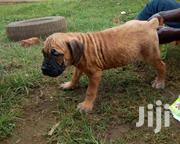 Boerboel For Sale | Dogs & Puppies for sale in Central Region, Kampala