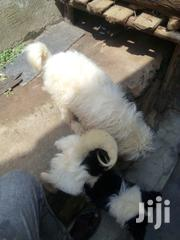 Maltese Male | Dogs & Puppies for sale in Central Region, Kampala