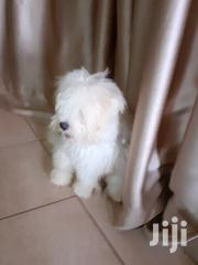 Puppy Maltese | Dogs & Puppies for sale in Central Region, Kampala