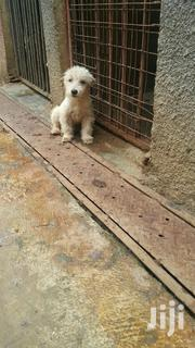 Japanese Spitz Puppies | Dogs & Puppies for sale in Central Region, Wakiso