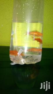 Gold Fish   Fish for sale in Central Region, Kampala