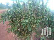 150acrez Of Coffee Plantation At 900m All In MUBENDE | Land & Plots For Sale for sale in Central Region, Mubende