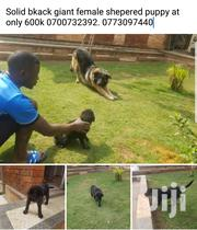 German Sheperd Solid Black | Dogs & Puppies for sale in Central Region, Kampala